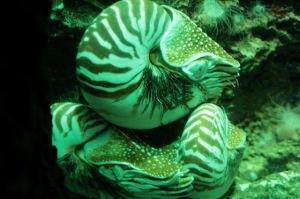 オウム貝。