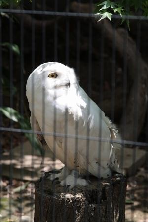 白フクロウ様。